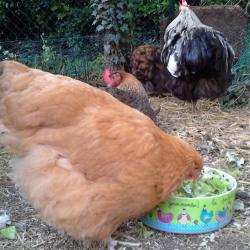 Mimi, jeune orpi, attaque le plat de verdure