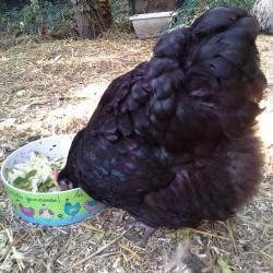 Zoé, orpington noire, fait honneur au plat de salade