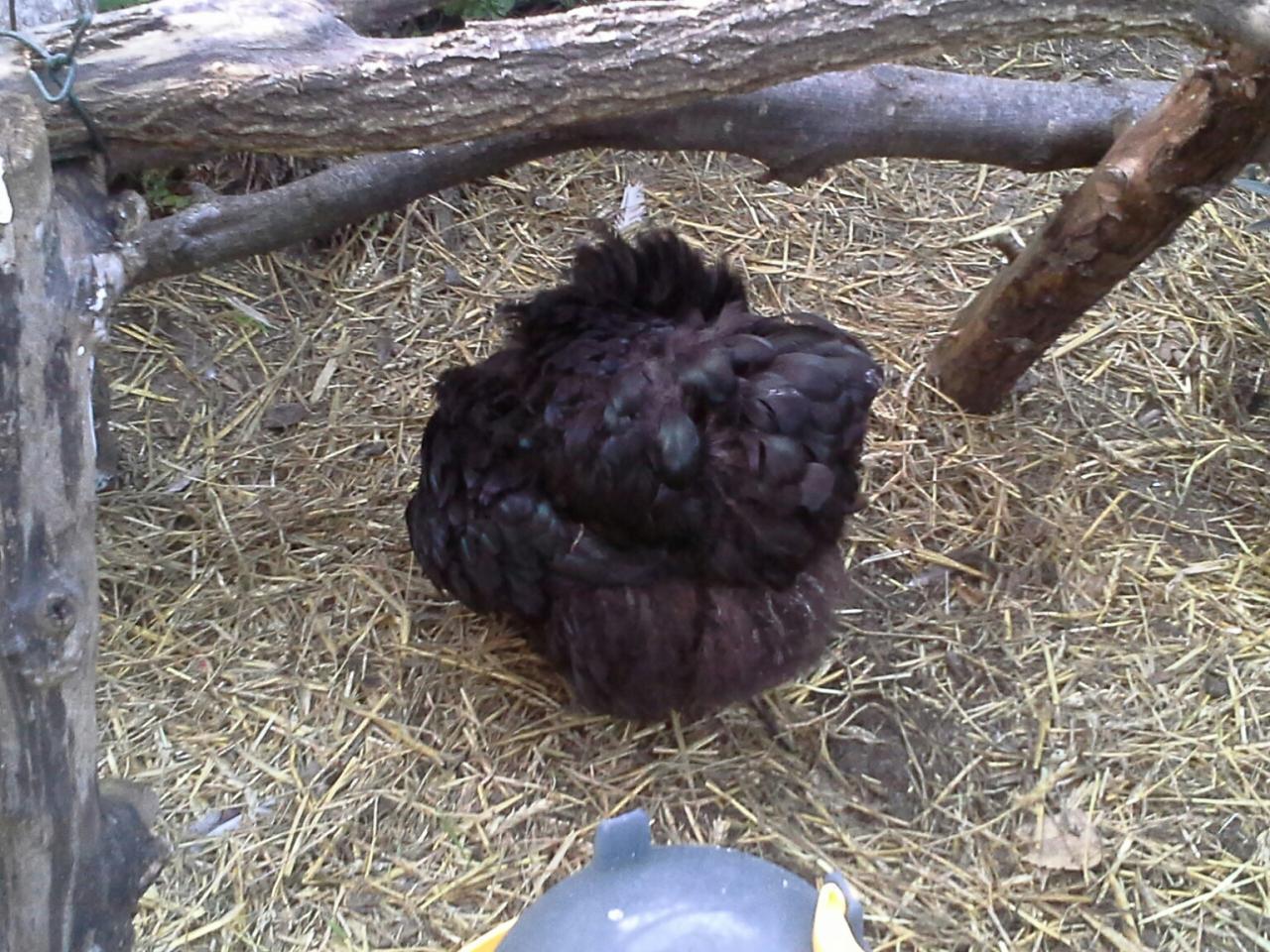 Poule Orpington noire faisant sa toilette