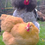 Patty, coq Cochin, saute sur Mimi, poule Orpington