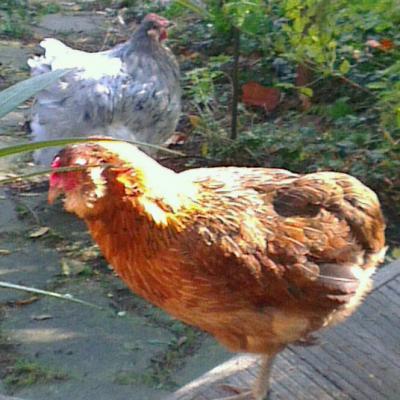 Edith, Araucana brun-doré