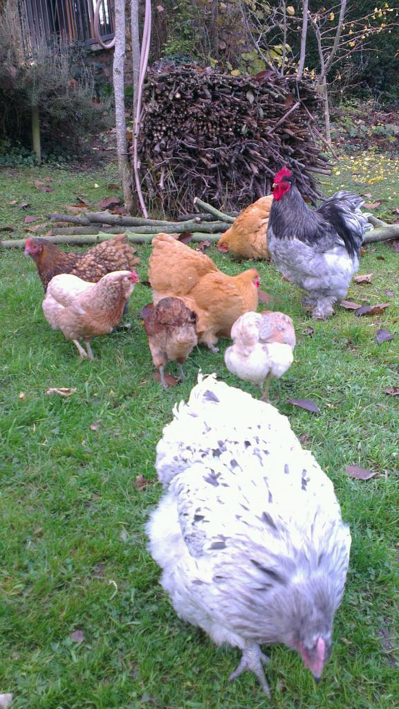 Groupe de poules avec Orpi splash