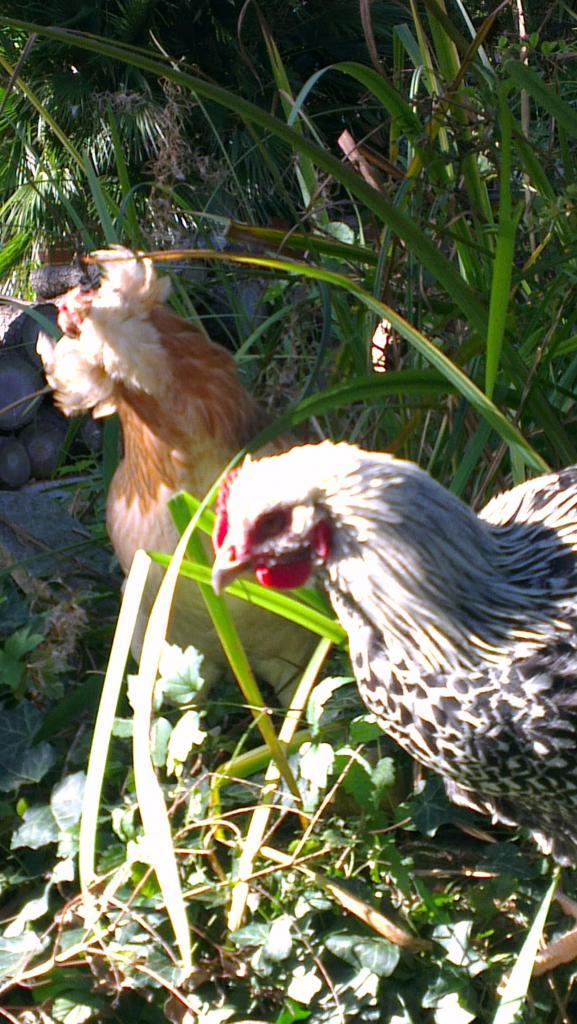 Atos, coq Orpington argenté,  avec Chouppi, poule Araucana