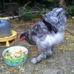 Jeune coq cochin bleu et plat de verdure