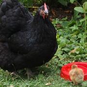 Mère poule-Zoé- Poule Orpington noire et son poussin Ofaln