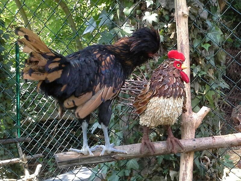 Nino, coquelet Padoue, et faux coq