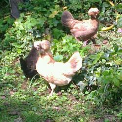 Estia et les Hollandaises huppées dans le jardin