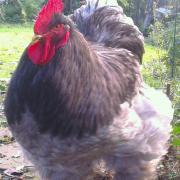 Patty, jeune coq Cochin bleu_04122014