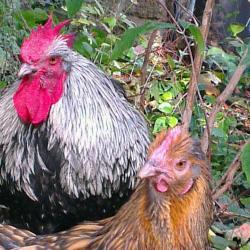 Portrait de Théo,  coq Orpi, et de Liserette, poule Odal