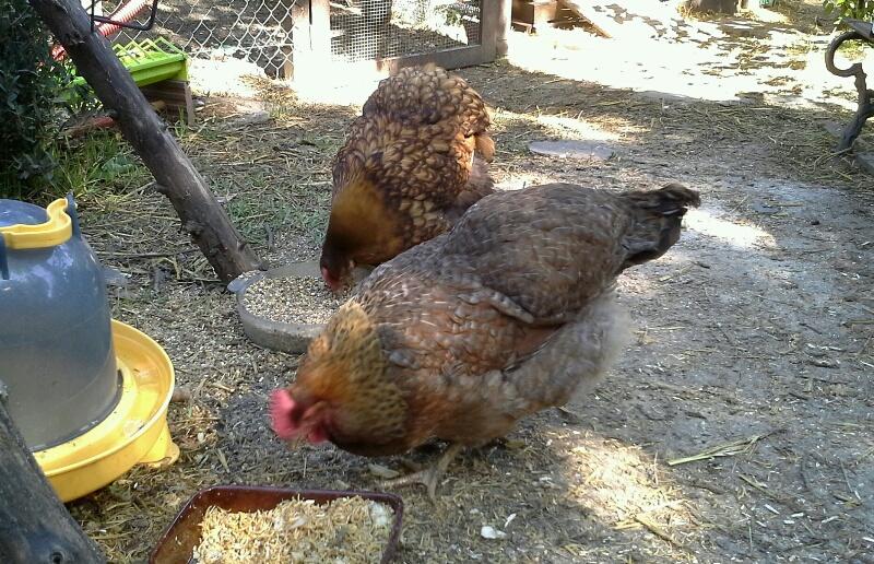 poules biefelder et ofal