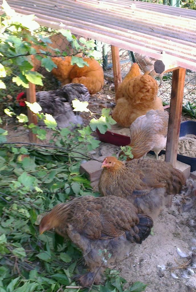 Poulettes Cochin devant les poules regroupées