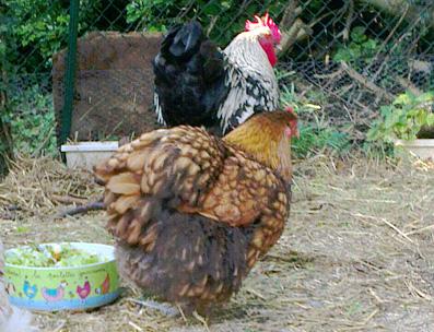 Liserette, poule Odal et Théo, coq Orpington argenté