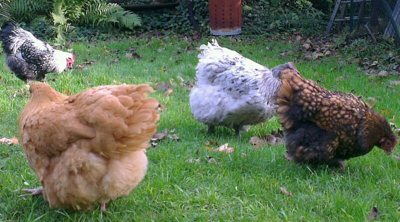 Trois poules Orpis de différentes couleurs