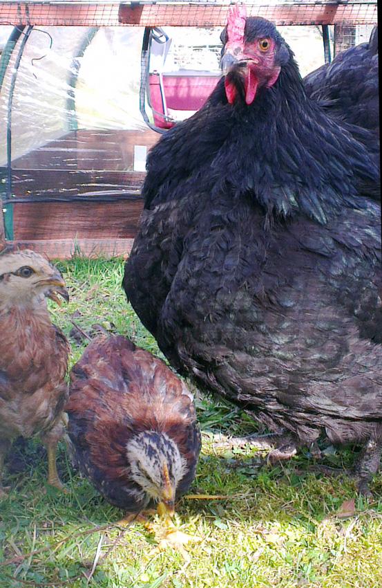 vive l elevage couveuses poules