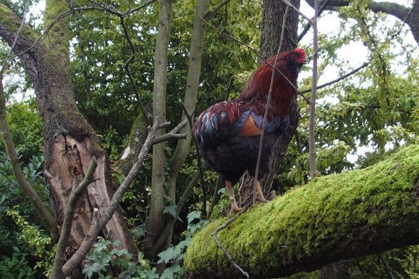 01012016 tac coq araucana perche dans un arbre