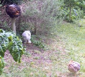 01062015 les deux binomes de poulettes
