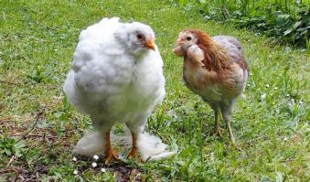 01062015 poulette croisee de 8 semaines et araucana