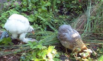 01062015 poulettes araucana et croisee au bord du bassin 1