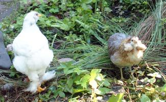 01062015 poulettes araucana et croisee au bord du bassin
