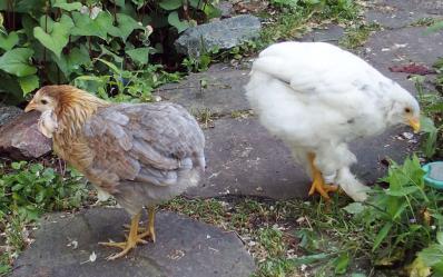 01062015 poulettes araucana et croisee cochin araucana
