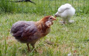 01062015 poulettes araucana et croisee dans le jardin