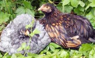 01062015 poulettes cochin bleu et ofaln dans les geraniums 2