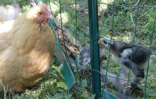01072015 poule et poussins derriere le grillage 1