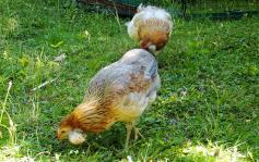 01072015 poules araucana avec des toupets d oreilles 4