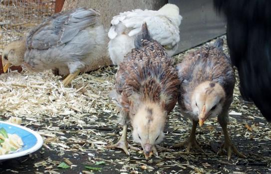 02052015 araucanas de 3 semaines coq et poule