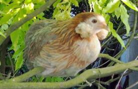 02062015 poulette araucana perchee dans une glycine 1