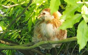 02062015 poulette araucana perchee dans une glycine 4