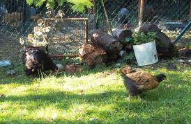 02092015 tipex poulette orpington appelee par google
