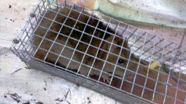 02122015 rat piege