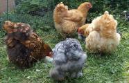 03072015 gouter des meres poules orpington