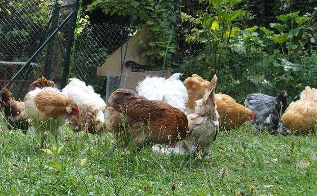 03072015 gouter des poules 4