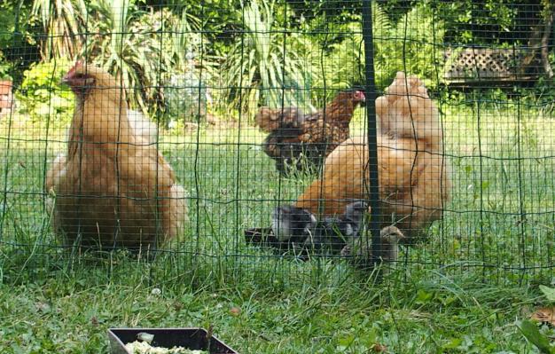 03072015 meres poules orpington et poussin dans le jardin