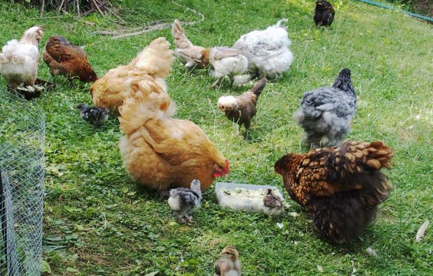 03072015 plusieurs plats pour le gouter des poules 4