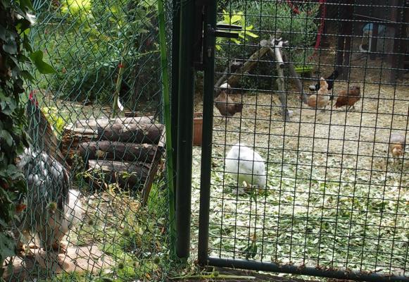 03072015 poules dans enclos et coq dans le jardin