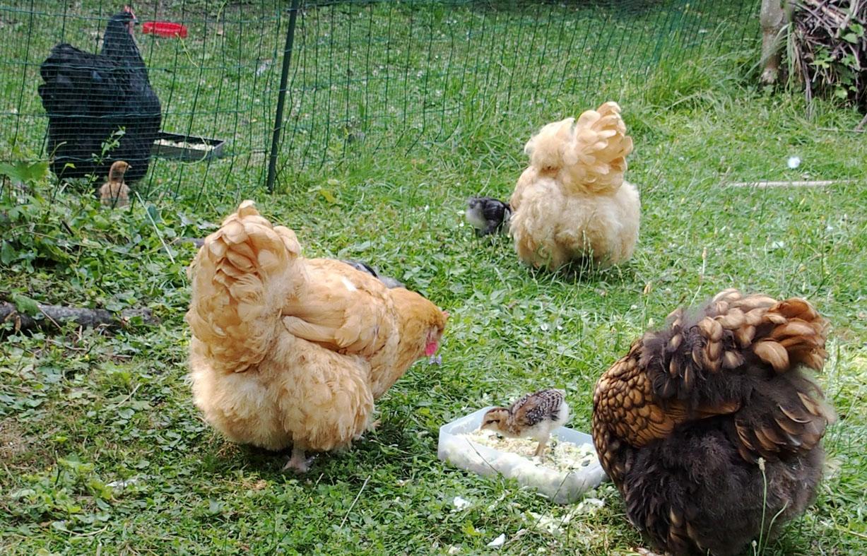 Poules et canicule organisation adapt e la grosse chaleur for Bien nourrir ses poules