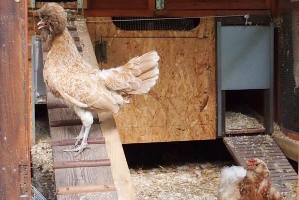 04072015 poule padoue et poule araucana qui ont chaud 1