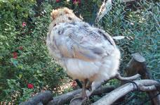04092015 les plumes de chouppi repoussent 2