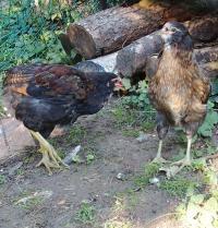 04092015 tic et tac jeunes araucanas devant un tas de bois sa