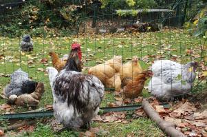 06102010 coq et poules dans le jardin 1