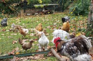 06112015 jardin en automne coq cochin et ses poules
