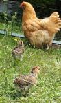 07072015 tic et tac poussins araucana devant poule orpington fauve 1