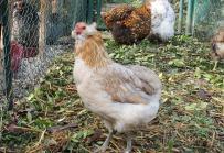 07122015 chouppi poule araucana