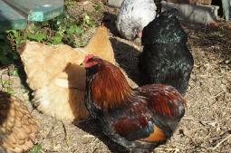 07122015 tac et poules orpington 1