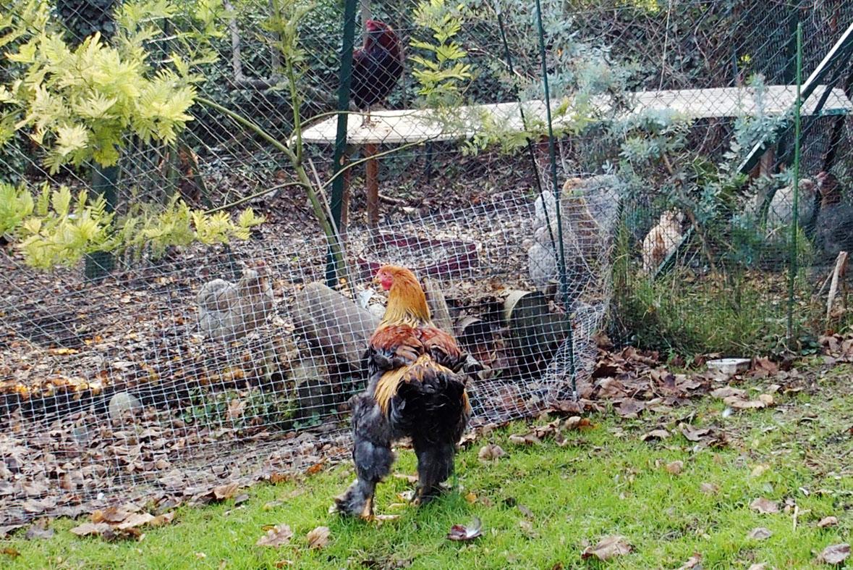 Coq brahma qui se rel ve mal et reste en position de cormoran for Dans keff