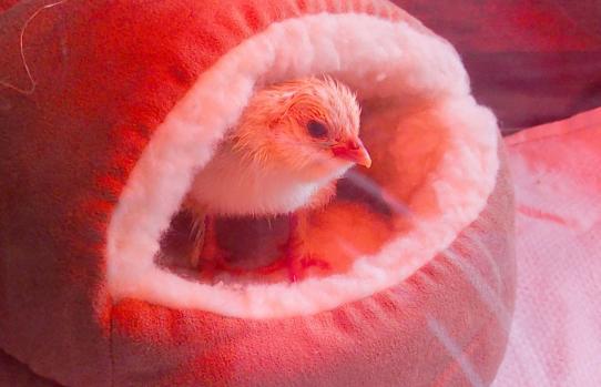 08042015 chouppa dans son nid 3