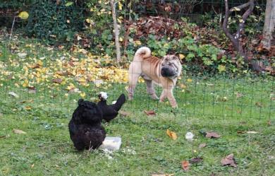 09112015 chien sharpei et poules curieuses 3